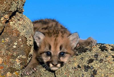 Photograph - Cougar Cub Felis Concolor by Jeffrey Lepore