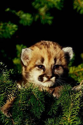 Photograph - Cougar Cub by Jeffrey Lepore