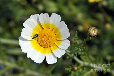 Print featuring the photograph Crown Daisy Flower by George Atsametakis