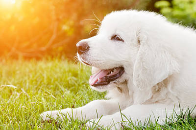 Purebred Photograph - Cute White Puppy Dog Lying On Grass by Michal Bednarek