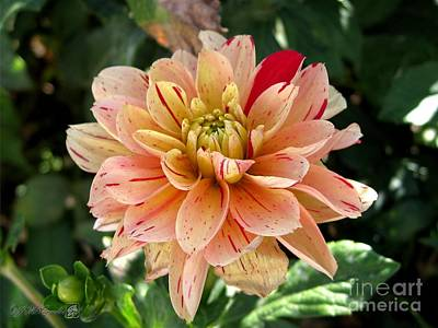 Photograph - Dahlia Named Freckle Face by J McCombie