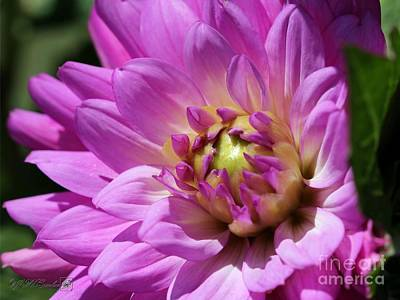 Photograph - Dahlia Named Lilac Time by J McCombie