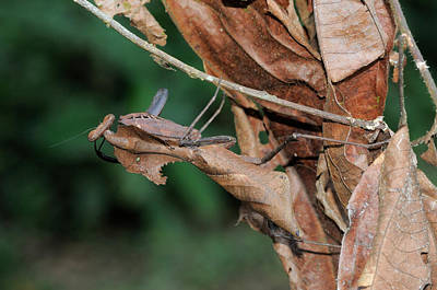 Photograph - Dead Leaf Mantis, Malaysia by Fletcher and Baylis