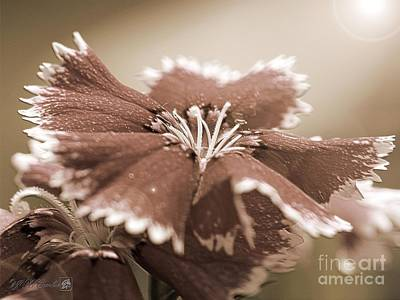 Photograph - Dianthus From The Floral Lace Mix by J McCombie