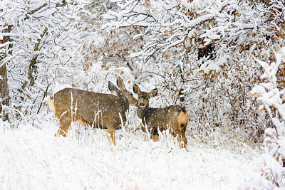 Steven Krull Royalty-Free and Rights-Managed Images - Doe Mule Deer in Snow by Steven Krull