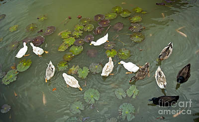 Lilly Pad Photograph - Ducks On Pond by Tim Hester