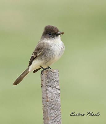 David Lester Photograph - Eastern Phoebe by David Lester