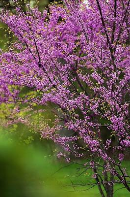 Cercis Canadensis Photograph - Eastern Redbud (cercis Canadensis) by Maria Mosolova