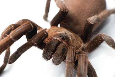Venom Photograph - Eastern Tarantula by Louise Murray
