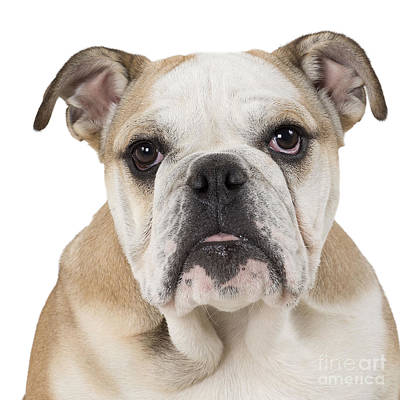 Photograph - English Bulldog Puppy by Jean-Michel Labat