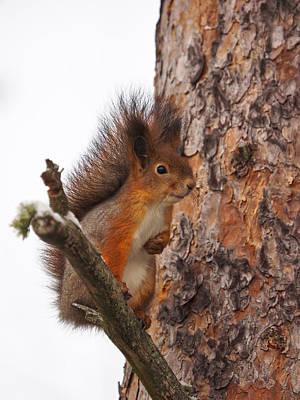 Photograph - Eurasian Red Squirrel by Jouko Lehto