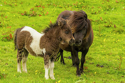 Shetland Pony Photograph - Europe, Scotland, Shetland Islands by Jaynes Gallery