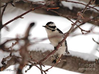 Photograph - Female Downy Woodpecker In Winter by J McCombie