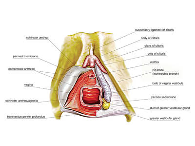 Vagina Photograph - Female Genital System by Asklepios Medical Atlas