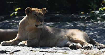 Photograph - Female Lion by John Telfer