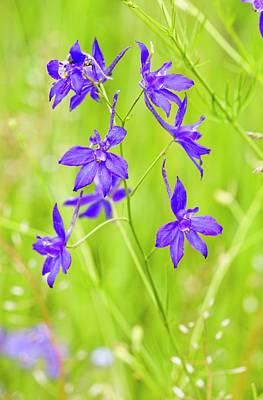 Forking Larkspur (consolida Regalis) Art Print by Bob Gibbons