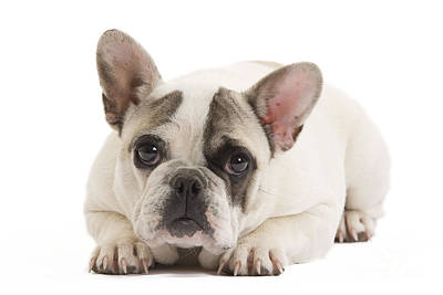 Cute French Bulldog Photograph - French Bulldog by Jean-Michel Labat