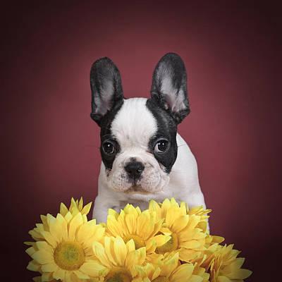 Adorable French Bulldog Puppy Photograph - French Bulldog Puppy by Waldek Dabrowski