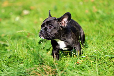 Cute French Bulldog Photograph - French Bulldoggs by Heike Hultsch