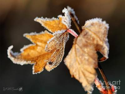 Photograph - Frosted Maple Leaves by J McCombie
