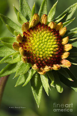 Photograph - Gaillardia Flower by Richard J Thompson
