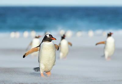Gentoo Penguin (pygoscelis Papua Art Print