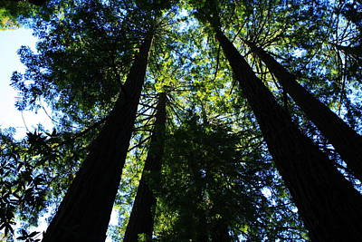 Photograph - Giant Redwoods by Aidan Moran