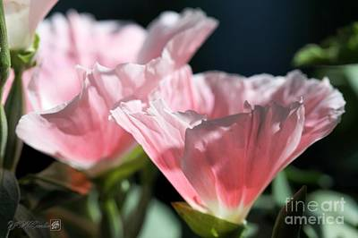 Clarkia Wall Art - Photograph - Godetia From The Satin Mix by J McCombie