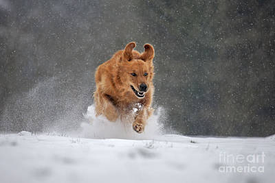 Golden Retriever In Snow Art Print by Johan De Meester