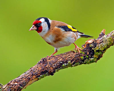 Photograph - Goldfinch by Paul Scoullar