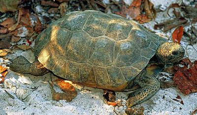 Photograph - Gopher Tortoise by Millard H. Sharp