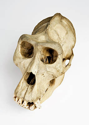 Gorilla Skull Art Print by Ucl, Grant Museum Of Zoology