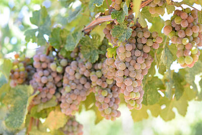 Grapes On The Vine Print by Brandon Bourdages