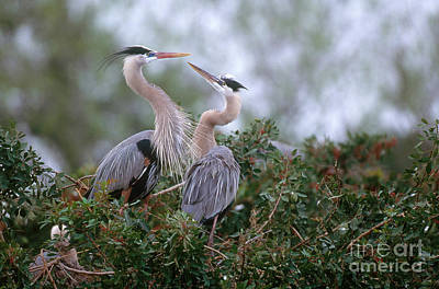 Heron Photograph - Great Blue Heron by Art Wolfe