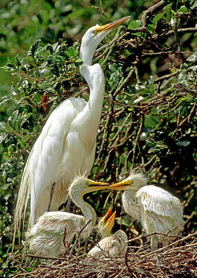Photograph - Great Egret Ardea Alba At Nest by Millard H. Sharp