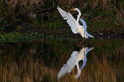 Great Egret Art Print by Dan Ferrin