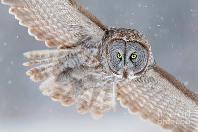 Photograph - Great Gray Owl by Scott Linstead
