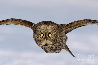 Photograph - Great Grey Owl by Scott Linstead