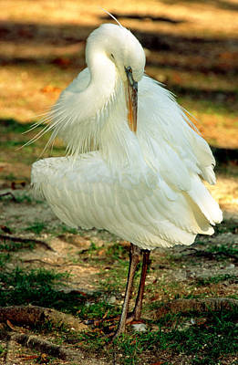 Photograph - Great White Heron by Millard H. Sharp