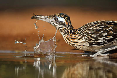 Starr Photograph - Greater Roadrunner (geococcyx by Larry Ditto