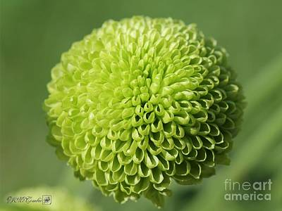 Photograph - Green Button Pom Chrysanthemum by J McCombie