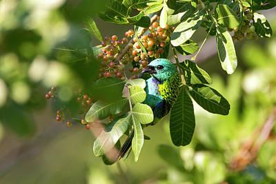 Sete Photograph - Green-headed Tanager Tangara Seledon by Leonardo Mer�on