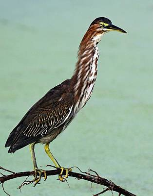 Photograph - Green Heron by Ira Runyan