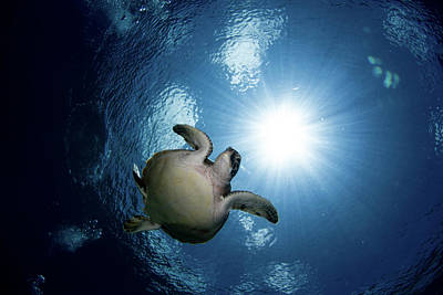 Photograph - Green Sea Turtle In The Waters by Alessandro Cere