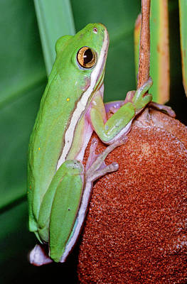 Photograph - Green Treefrog by Millard H. Sharp