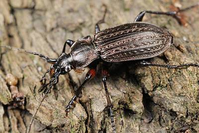 Granulatus Photograph - Ground Beetle by Science Photo Library