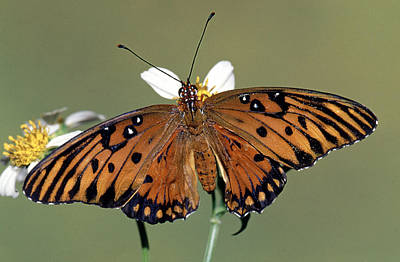 Photograph - Gulf Fritillary Butterfly Agraulis by Millard H. Sharp