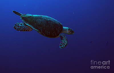 Photograph - Hawksbill Turtle by JT Lewis