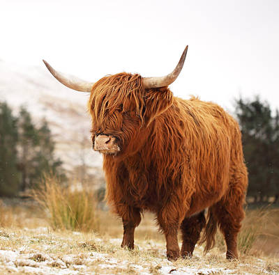 Mammals Royalty-Free and Rights-Managed Images - Highland Cow by Grant Glendinning