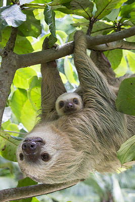 Animal Behavior Photograph - Hoffmanns Two-toed Sloth And Old Baby by Suzi Eszterhas
